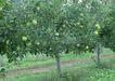 水果世界0175,水果世界,美食,果园 苹果树