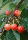 水果世界0179,水果世界,美食,樱桃 新鲜水果