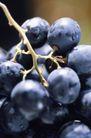 葡萄酒篇0020,葡萄酒篇,美食,一串葡萄