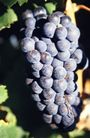 葡萄酒篇0028,葡萄酒篇,美食,紫葡萄