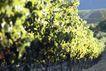 葡萄酒篇0031,葡萄酒篇,美食,树叶 果园 果树