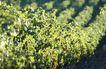 葡萄酒篇0032,葡萄酒篇,美食,种植 农业 绿树