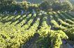 葡萄酒篇0039,葡萄酒篇,美食,果树 果园 绿树