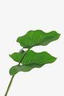 叶脉分明0184,叶脉分明,植物,芋头叶子