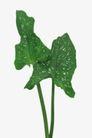 叶脉分明0185,叶脉分明,植物,绿色植物