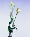 百花争艳0098,百花争艳,植物,白色花朵 白色玫瑰 花蕾