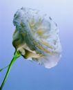 百花争艳0100,百花争艳,植物,白色花朵 绽放 鲜艳