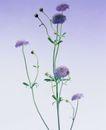 百花争艳0105,百花争艳,植物,紫色花朵 花球 菊科