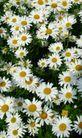 香水物语0039,香水物语,静物,白菊 野菊 秋季