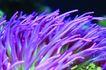 海底观赏0019,海底观赏,旅游风光,海生植物图 紫色的海底植物