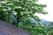 白色纯净花0025,白色纯净花,自然风景,