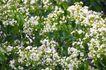 白色纯净花0027,白色纯净花,自然风景,