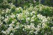 白色纯净花0029,白色纯净花,自然风景,
