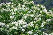白色纯净花0032,白色纯净花,自然风景,果树 开花 花朵