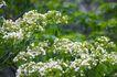 白色纯净花0034,白色纯净花,自然风景,花朵 风景 鲜花