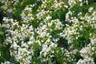 白色纯净花0035,白色纯净花,自然风景,果树 春天 开花时节