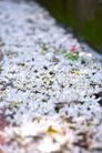 白色纯净花0038,白色纯净花,自然风景,自然 风景 景物