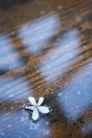 白色纯净花0043,白色纯净花,自然风景,