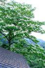 白色纯净花0045,白色纯净花,自然风景,