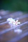 白色纯净花0049,白色纯净花,自然风景,