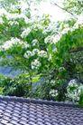 白色纯净花0068,白色纯净花,自然风景,