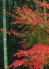 竹树婆娑0224,竹树婆娑,自然风景,红枫 竹子