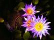 荷花意境0071,荷花意境,自然风景,紫荷花