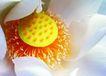 荷花意境0089,荷花意境,自然风景,嫩嫩的花蕊