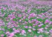 鲜花遍野0223,鲜花遍野,自然风景,