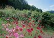 鲜花遍野0226,鲜花遍野,自然风景,