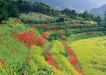 鲜花遍野0230,鲜花遍野,自然风景,