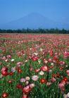 鲜花遍野0258,鲜花遍野,自然风景,