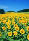 鲜花遍野0265,鲜花遍野,自然风景,