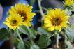 静谧生活0031,静谧生活,生活,花朵 菊花 黄色