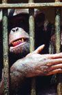 猛兽动物0003,猛兽动物,动物,笼子里的猩猩