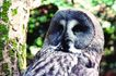 猛兽动物0025,猛兽动物,动物,猫头鹰