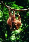 猩猩和类人猿0047,猩猩和类人猿,动物,