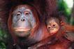 猩猩和类人猿0053,猩猩和类人猿,动物,