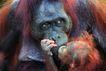 猩猩和类人猿0054,猩猩和类人猿,动物,