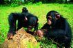 猩猩和类人猿0056,猩猩和类人猿,动物,