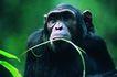 猩猩和类人猿0057,猩猩和类人猿,动物,