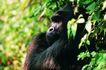 猩猩和类人猿0060,猩猩和类人猿,动物,