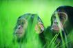 猩猩和类人猿0062,猩猩和类人猿,动物,