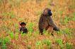 猩猩和类人猿0064,猩猩和类人猿,动物,