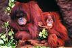 猩猩和类人猿0066,猩猩和类人猿,动物,