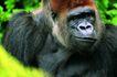猩猩和类人猿0076,猩猩和类人猿,动物,