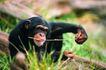 猩猩和类人猿0077,猩猩和类人猿,动物,