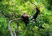 猩猩和类人猿0079,猩猩和类人猿,动物,