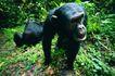 猩猩和类人猿0080,猩猩和类人猿,动物,