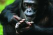猩猩和类人猿0083,猩猩和类人猿,动物,